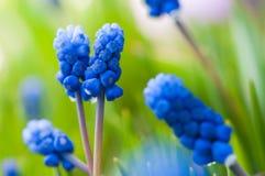 Many Grape Hyacinth or Muscari Latifolium botryoides flower bulbs blooming blue in spring Stock Photos