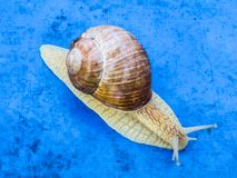 Many grape snails on a piece of blue awning in the garden stock photos