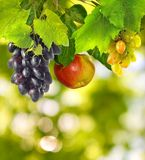 Many grapes on a green background closeup Royalty Free Stock Image