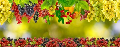 Many grapes on a green background Stock Photography