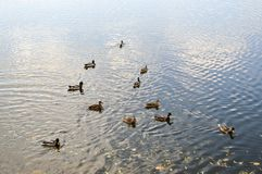 Many gray ducks swim in the water, in a pond, a river, a lake with autumn yellow leaves royalty free stock photo