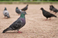 Many gray pigeons walking in the park Stock Images