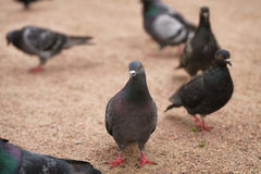 Many gray pigeons walking in the park Royalty Free Stock Photo