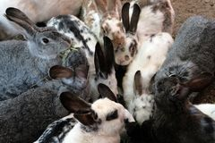 Many gray and white rabbits eat grass and other food. royalty free stock photos