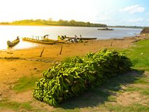 Many green bananas on the river bank Royalty Free Stock Images