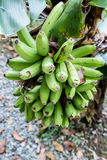 Many green bananas Royalty Free Stock Photo