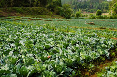 Many green cabbages in the agriculture fields. In mountain Royalty Free Stock Photos
