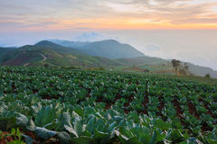 Many green cabbages in the agriculture fields at Phutabberk Phet Stock Photos