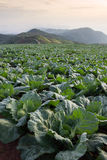 Many green cabbages in the agriculture fields at Phutabberk Phet Stock Image