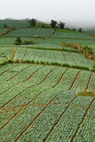 Many green cabbages in the agriculture fields at Phutabberk Phet Stock Images