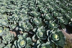 Many green cabbages in a very fertile field stock image