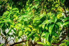 Many green citrus fruit on tree with green leaves in sunshine.  Stock Photo