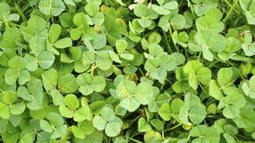 Many green clovers texture background Royalty Free Stock Image