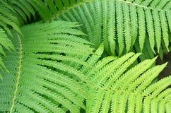 Many green fern leaves Stock Photo