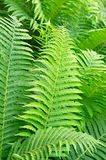 Many green fern leaves Stock Photos