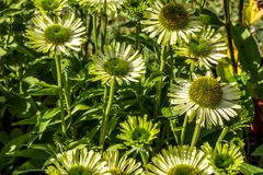 Many green flowers of jewel Echinacea in perennial garden Stock Photography