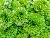 Many green gerbera daisy are blooming in the flowers shop Stock Image