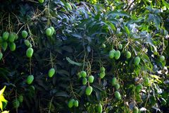 Many green mangos in branches at west bengal india royalty free stock photography