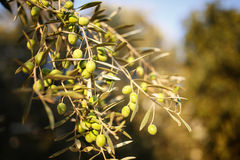 Many green olives on olive tree branch in autumn. Royalty Free Stock Photo