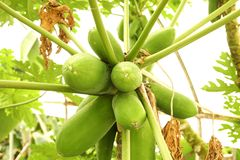Many green papaya fruits on palm tree branch at local greenhouse. Bunch of unripe organic multiple green papaya fruits hanging on branch in local produce farm Stock Photography