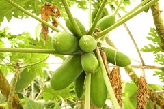 Many green papaya fruits on palm tree branch at local greenhouse. Bunch of unripe organic multiple green papaya fruits hanging on branch in local produce farm Royalty Free Stock Image