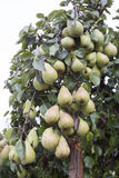 Many green pears on a tree Royalty Free Stock Photo
