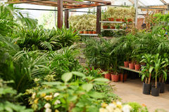 Many green plants in nursery shop Royalty Free Stock Images
