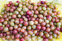 Many green red fresh ripe gooseberry Royalty Free Stock Photo