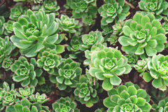 Many green succulents in garden Royalty Free Stock Image