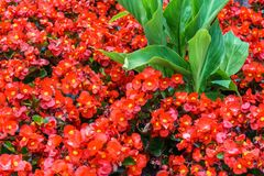 Many growing red flowers on field with green leaves.  royalty free stock images
