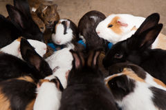 Many guinea pigs eating food. A group of guinea pigs eating food Royalty Free Stock Photography