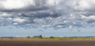Many gulls and black-birds flying over fresh field Royalty Free Stock Images