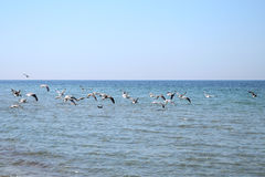 many gulls flying Royalty Free Stock Images