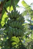 Many hands of cultivated banana. There are many hands of cultivated banana on the banana tree royalty free stock photo