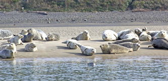 Many Happy Sea Lions Basking on Sand Bar. Many happy sea lions basking in the sun on a sandy beach with water Royalty Free Stock Image