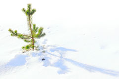 Many happy years of life a small fir-tree royalty free stock images