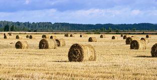 Many haycocks in the field. Clouds in the sky Royalty Free Stock Images
