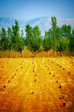 Many haycocks on golden dry field Royalty Free Stock Photo
