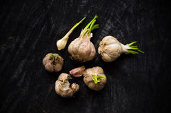 Many heads of garlic with green sprouts Royalty Free Stock Images