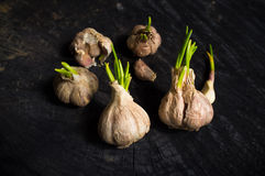 Many heads of garlic with green sprouts Stock Images