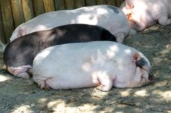Many heavy pigs lying wearily on the mud Royalty Free Stock Photography