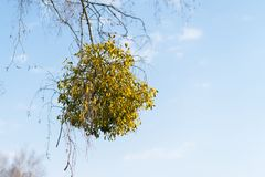 Many hemiparasitic shrubs of mistletoe on tree branches. Common European mistletoe Viscum album growing on the branches of birch. Tree isolated on blue sky on a stock image