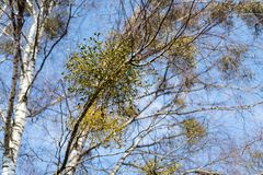 Many hemiparasitic shrubs of mistletoe on tree branches. Common European mistletoe Viscum album growing on the branches of birch. Tree isolated on blue sky on a royalty free stock photography