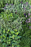 Many Herbs in a garden herb bed. Many Herbs in a garden herb bed with Lavendula, Sage and other aromatic spice and tea plants Royalty Free Stock Photo