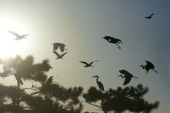 Flying Herons Royalty Free Stock Photography