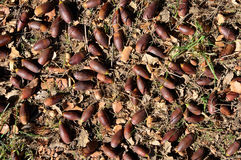 Many holm oak acorns Royalty Free Stock Images