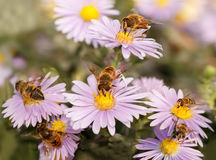 Many  Honey bees drinking nectar from the purple flowers Stock Photography