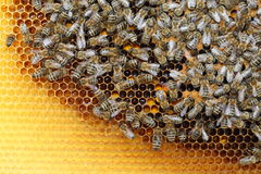 Many honeybees Royalty Free Stock Images