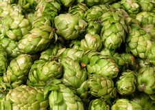 Many hops cones Stock Photo