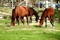 Many horse in the ranch Royalty Free Stock Photography
